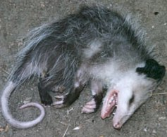 opossum-faking-death
