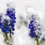 bluebells-in-the-snow